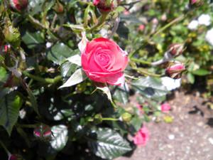 Rosegarden2