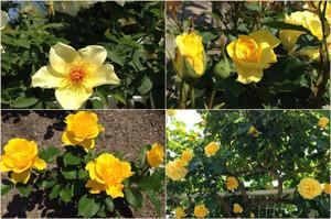 Yellowrose