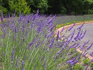 Lavenderpark