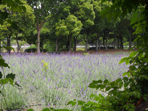 Lavenderpark2