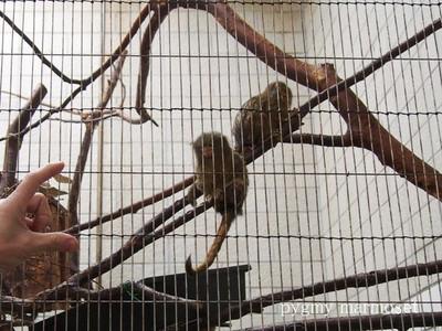 Pygmymarmoset