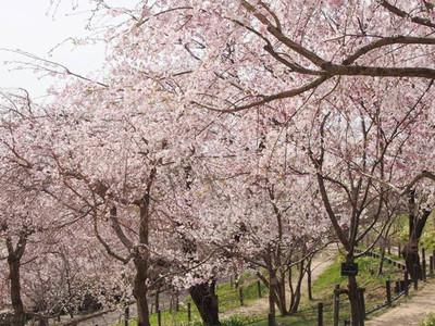 Sakuranokairou
